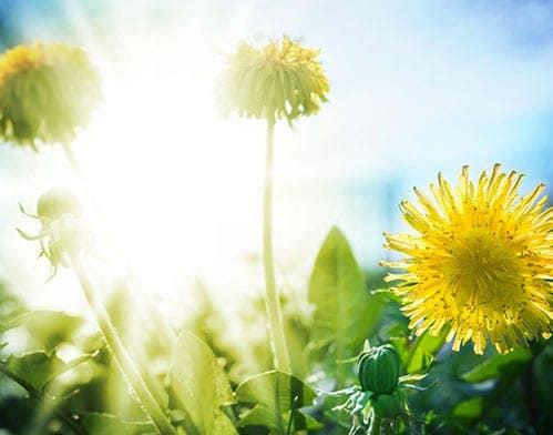 Health benefits of dandelion greens