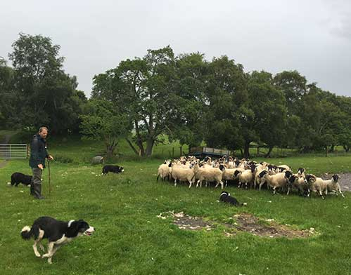 Scotland Sheepdog Farm